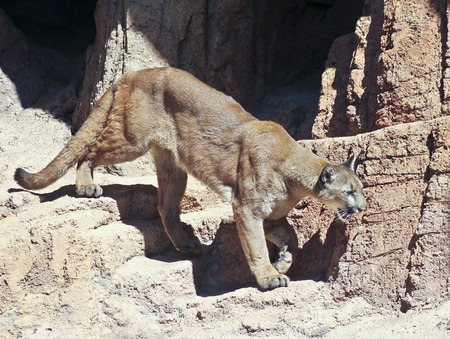animal den: Felis concolor is the largest cat to inhabit the rugged mountains