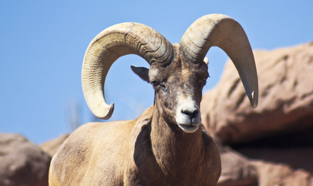 sheep eye: A bighorn sheep, Ovis canadensis, of Western North America, the ram with massive horns.
