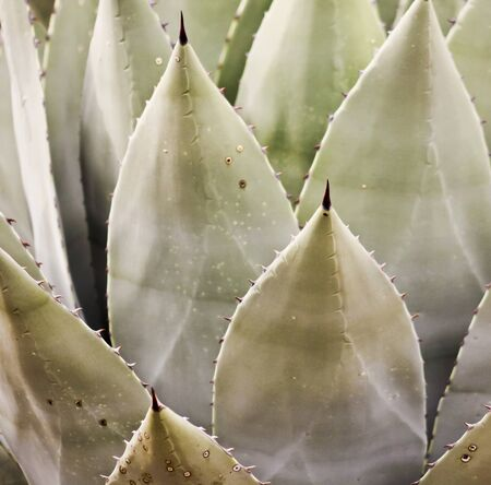 sharply: A Sharply Thorned Leaf of a Century Plant, or Agave