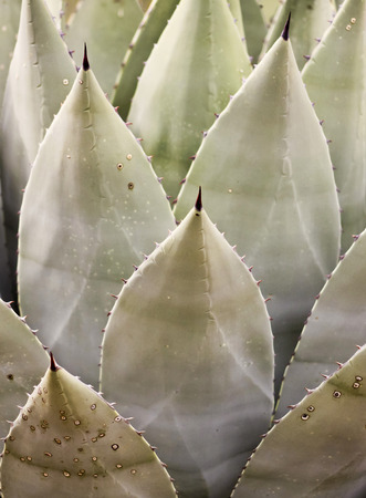 century plant: A Sharply Thorned Leaf of a Century Plant, or Agave
