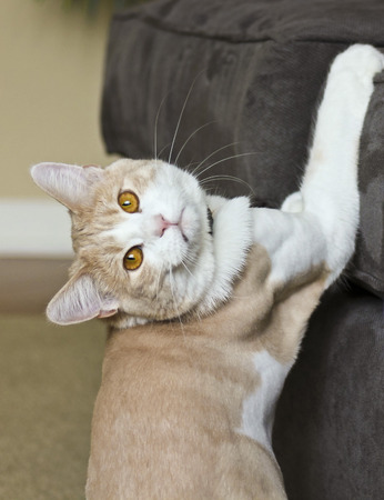 A Tabby Cream House Cat Caught in the Act Scratching a Sofa Stock Photo