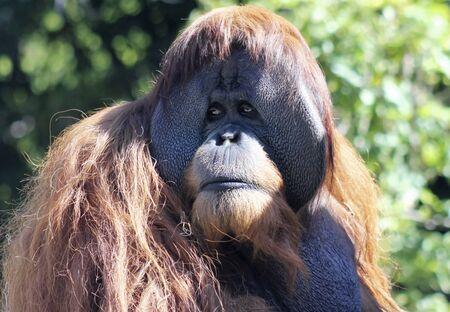 anthropoid: A Close Portrait of a Solemn Adult Male Orangutan