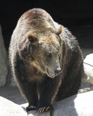 A Close Up Portrait of a Grizzly Bear, Ursus horribilis Stock Photo