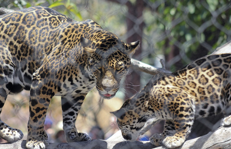 striping: A Jaguar and Her Cub Behind the Wire of Their Zoo Enclosure