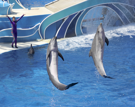 nosed: SAN DIEGO, CALIFORNIA, JUNE 25. SeaWorld on June 25, 2015, in San Diego, California. A bottle-nosed dolphin show entertains visitors at Dolphin Stadium at SeaWorld in San Diego in California. Editorial