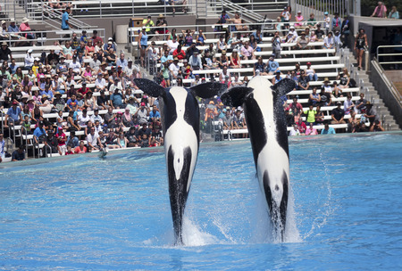 breaching: SAN DIEGO, CALIFORNIA, JUNE 25. SeaWorld on June 25, 2015, in San Diego, California. A killer whale pair entertains visitors at Shamu Stadium at SeaWorld in San Diego in California.
