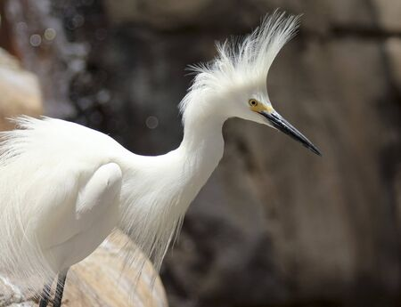 living thing: A Close Up Portrait of a Snowy Egret Displaying Its Plumage, Egretta thula Stock Photo
