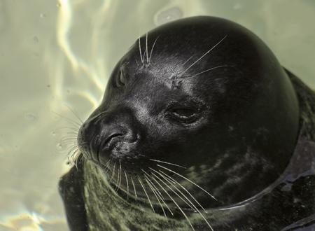 pelage: A Close Portrait of a Harbor, or Common Seal, Phoca vitulina Stock Photo