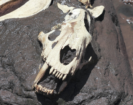 A Smilodon Skull, Best Known as Saber-toothed Cat, Exposed in a Tar Pit