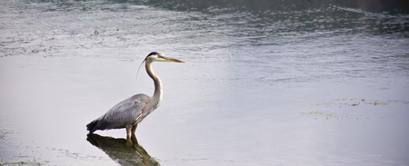 grey heron: A Great Blue Heron Stands in the Water at the Edge of a Pond Stock Photo