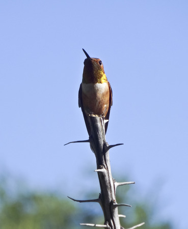 rufous: A Male Rufous Hummingbird Perched on the End of an Ocotillo Branch Stock Photo
