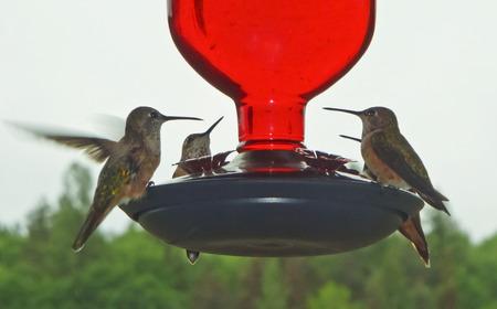 rufous: A Quartet of Female Rufous Hummingbirds Perched at a Hummingbird Feeder Stock Photo