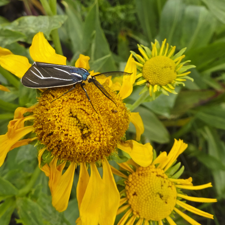 lepidopteran: A Ctenucha venosa Tiger Moth Feeding on a Sunflower Stock Photo