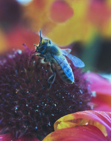 A Honey Bee on a Blanket Flower, Gaillardia aristata