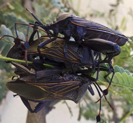 assassin: A Close Up of Four Assassin Bugs, Family Reduviidae, Order Hemiptera Stock Photo