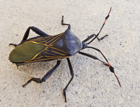 predatory insect: A Close Up View of an Assassin Bug, Family Reduviidae, Order Hemiptera Stock Photo