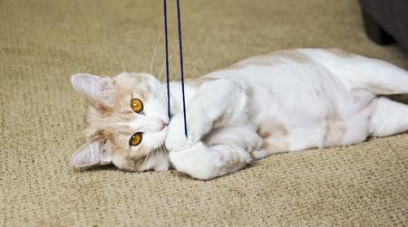 gato jugando: Un Tabby Crema Casa Gato atrapado juega con hilado