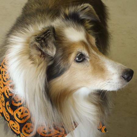sable: A Sable Merle Shetland Sheepdog, or Sheltie, Decked Out for Halloween Stock Photo