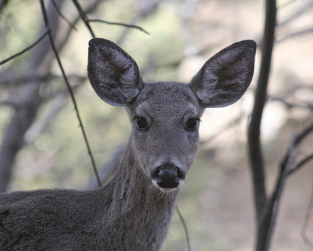 virginianus: A Close Up Portrait of a Whitetail Deer Doe