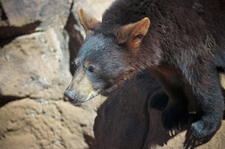 omnivore animal: A Close Up Portrait of a Young Black Bear Stock Photo
