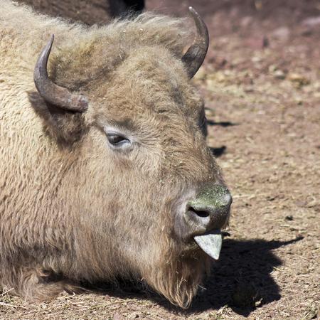 bovid: A Close Portrait of a Buffalo Sticking Out its Tongue Stock Photo
