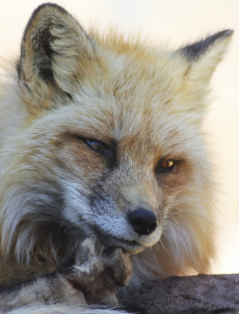 wild silky white: A Close Up Portrait of the Head of a Red Fox, Vulpes fulva