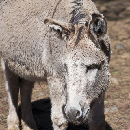 black ass: A Close Portrait of a Donkey, Burro or Ass