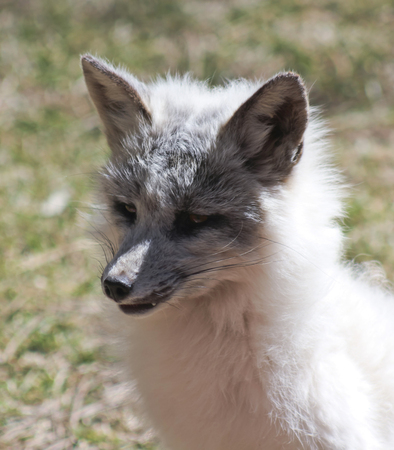wild silky white: A Close Up Portrait of a Sitting Arctic Fox, Alopex lagopus
