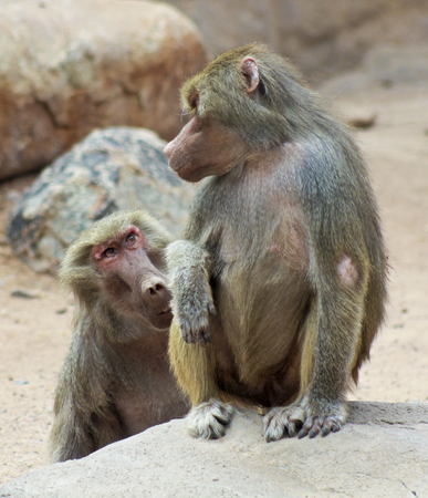 seemingly: A Pair of Baboons Seemingly in Conversation with Each Other, Genus Papio