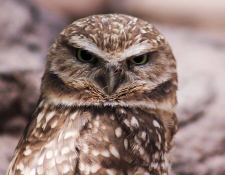 burrowing: A Close Up Portrait of a Burrowing Owl, Athene cunicularia Stock Photo