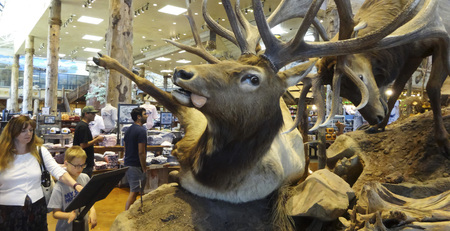 pro: LAS VEGAS, NEVADA, MAY 27. Bass Pro Shops Outdoor World on May 27, 2016, in Las Vegas Nevada. A battle between stuffed bull elk at Bass pro Shops Outdoor World in Las Vegas, Nevada. Editorial