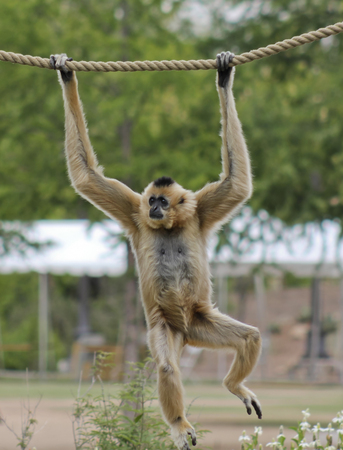 living thing: A Light Brown Gibbon, Genus Hylobates, Hangs from a Rope