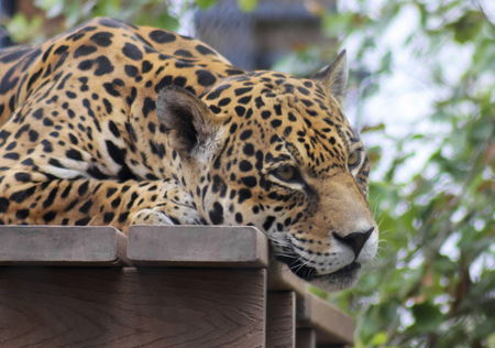striping: A Jaguar Rests on a Wooden Deck in its Zoo Enclosure Stock Photo