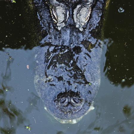 악어가 물 표면 아래 숨어있다. 콧 구멍과 눈이 보인다. 스톡 콘텐츠