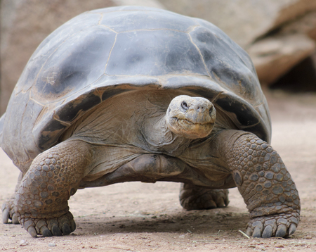bony: A Close Up of a Galapagos Land Tortoise Stock Photo