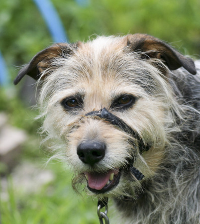 ratty: An Old Mixed Breed Dog in a Training Head Halter Stock Photo