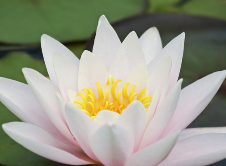 aquatic herb: A Pink and Yellow Water Lily Flower, Family Nymphaeaceae