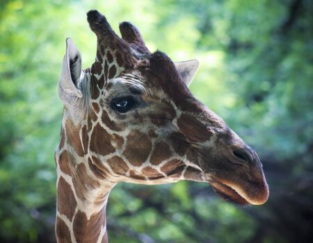A Profile of an African Reticulated Giraffe, Giraffa camelopardalis