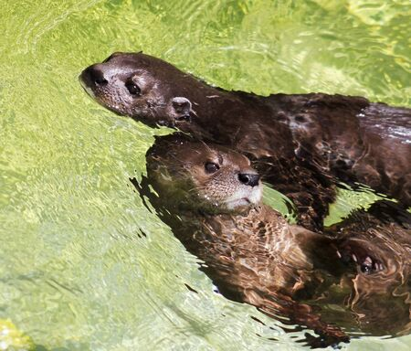 necked: A Pair of African Spotted Necked Otters, Lutra maculicollis, Swimming in the Water