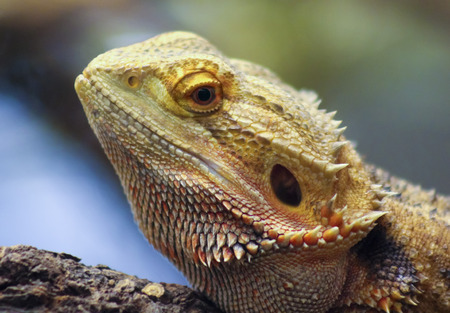 bearded dragon lizard: A Close Up Pogona, also Known as a Bearded Dragon