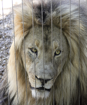 peers: An Alert Lion Peers Out Through the Bars of His Zoo Enclosure