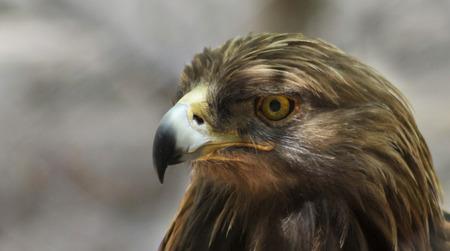 aigle royal: Un portrait d'un aigle royal dans le profil, Aquila chrysaetos
