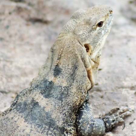 sonora: A Spinytail Iguana, Ctenosaura macrolopha, aka Sonora Black Iguana Stock Photo