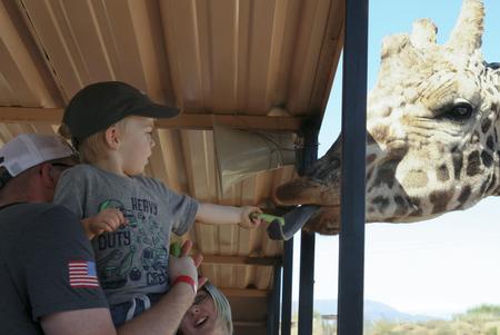 CAMP VERDE, ARIZONA - OCTOBER 13: The Out of Africa Wildlife Park on October 13, 2016, near Camp Verde, Arizona. A boy feeds a giraffe celery on a safari shuttle bus at the Out of Africa Wildlife Park near Camp Verde, Arizona.
