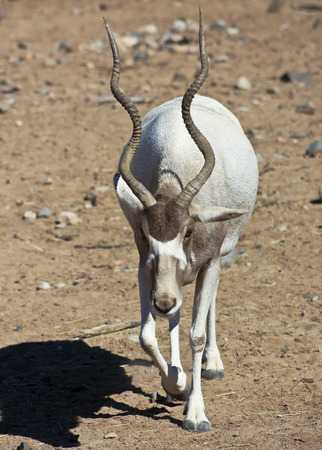 spiraling: An Addax nasomaculatus, the White, or Screwhorn, Antelope is Critically Endangered