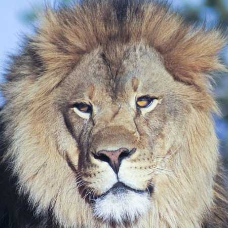 keystone: A Close Portrait of the Head of an African Lion Male