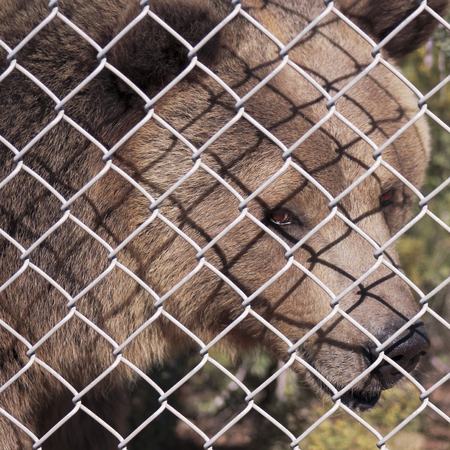 enclosure: A Grizzly Bears Face Just Inside the Fence of its Zoo Enclosure