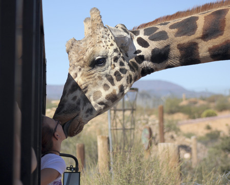 africa kiss: CAMP VERDE, ARIZONA - OCTOBER 13: The Out of Africa Wildlife Park on October 13, 2016, near Camp Verde, Arizona. A tourist get a big wet kiss from a giraffe on a safari shuttle bus at the Out of Africa Wildlife Park near Camp Verde, Arizona.