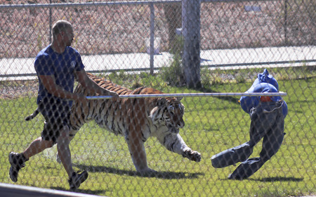 stalker: CAMP VERDE, ARIZONA, OCTOBER 13. The Out of Africa Wildlife Park on October 13, 2016, near Camp Verde, Arizona. A Bengal tiger performs in the Splash show at the Out of Africa Wildlife Park near Camp Verde, Arizona.