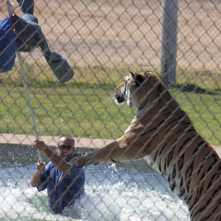 CAMP VERDE, ARIZONA, OCTOBER 13. The Out of Africa Wildlife Park on October 13, 2016, near Camp Verde, Arizona. A Bengal tiger performs in the Splash show at the Out of Africa Wildlife Park near Camp Verde, Arizona.